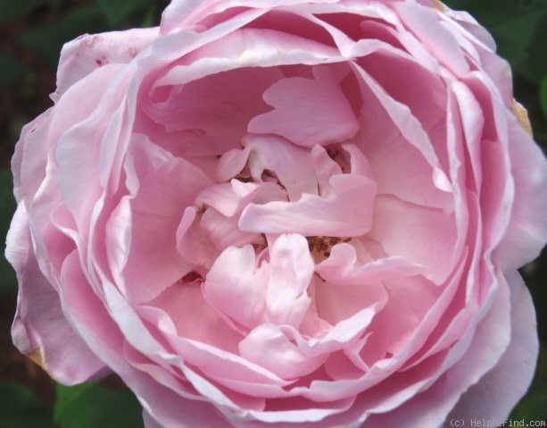 'Paul's Early Blush' rose photo