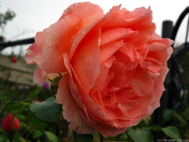 'Heaven on Earth' rose photo