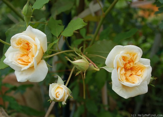 'Alister Stella Gray (Noisette, Paul, 1894)' rose photo