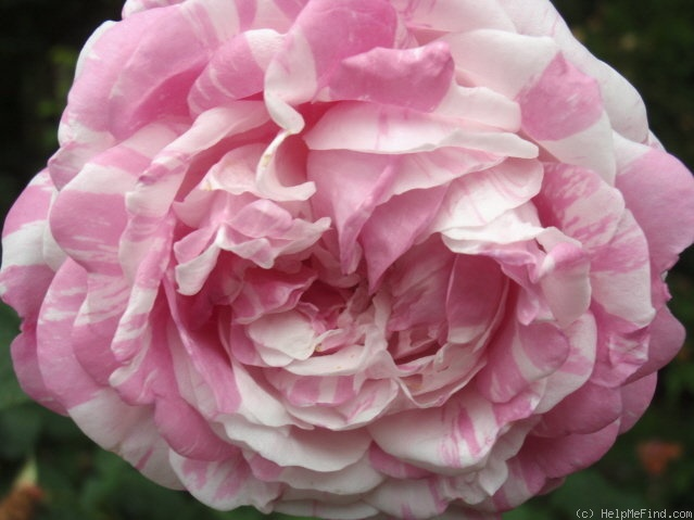 'Centifolia Variegata' rose photo