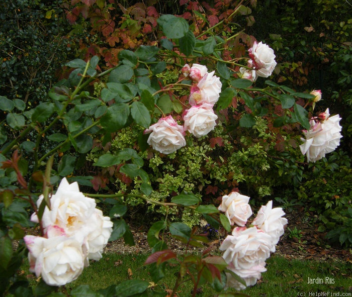 'Martine Guillot ®' rose photo