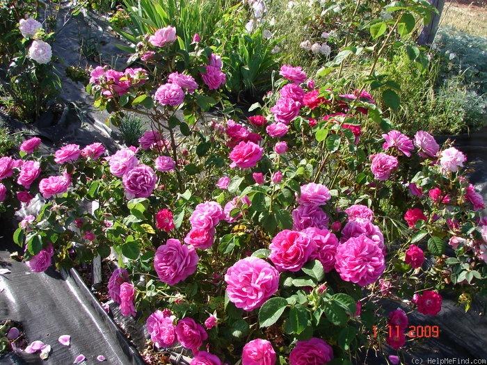 Le Havre rosier ancien  137161