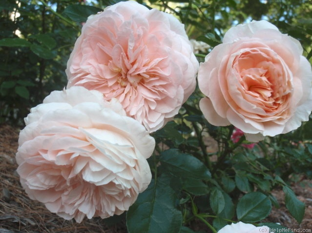 'Floral Fairy Tale' rose photo