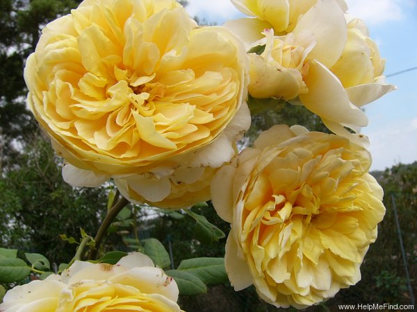 'Golden Celebration ™' rose photo