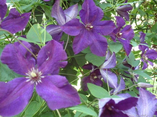 'Polish Spirit' clematis photo