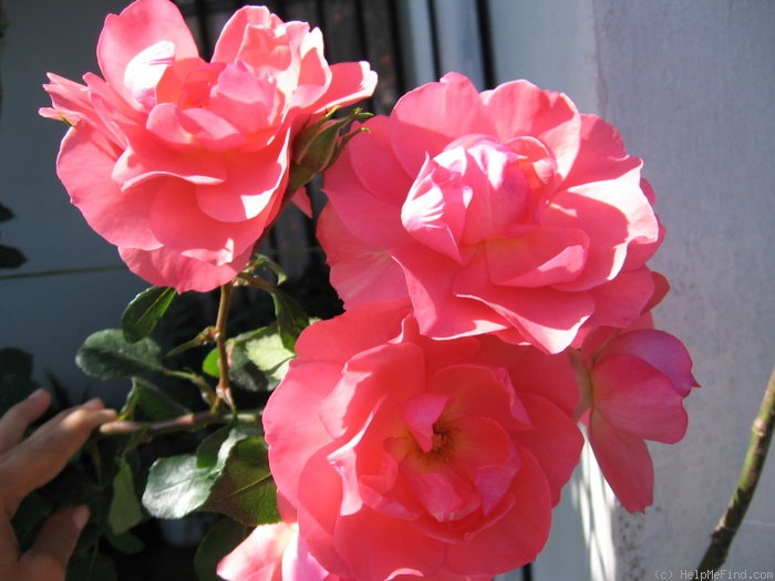'Jardins de France ®' rose photo