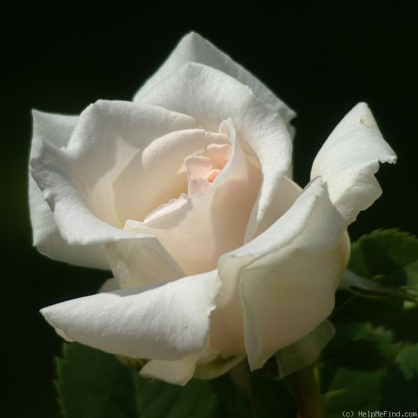 'Renaissance (hybrid tea, Harkness, 1994)' rose photo