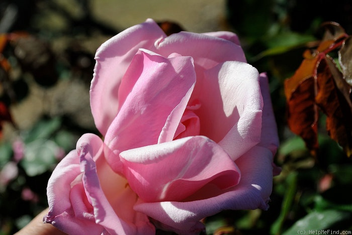 'Susan Louise' rose photo