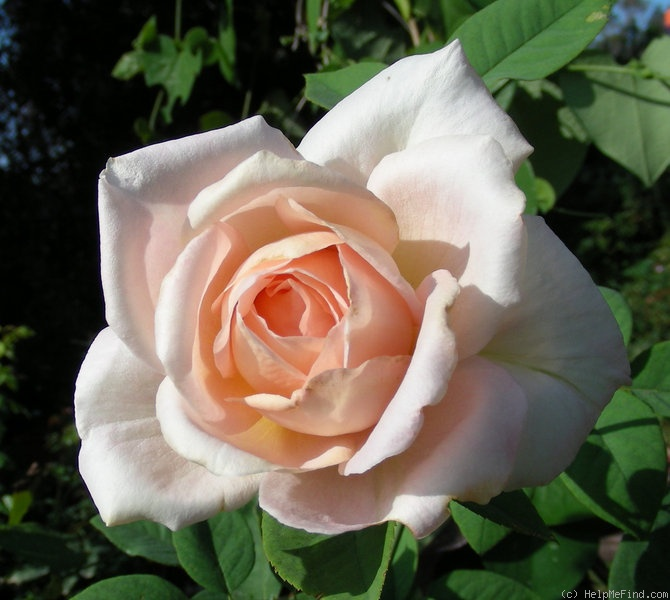 'Sunday Lemonade' rose photo