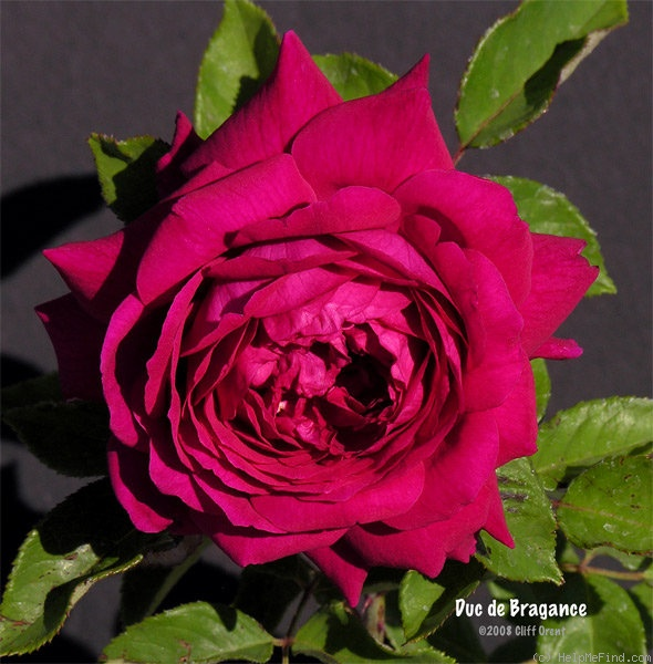 'Duc de Bragance' rose photo