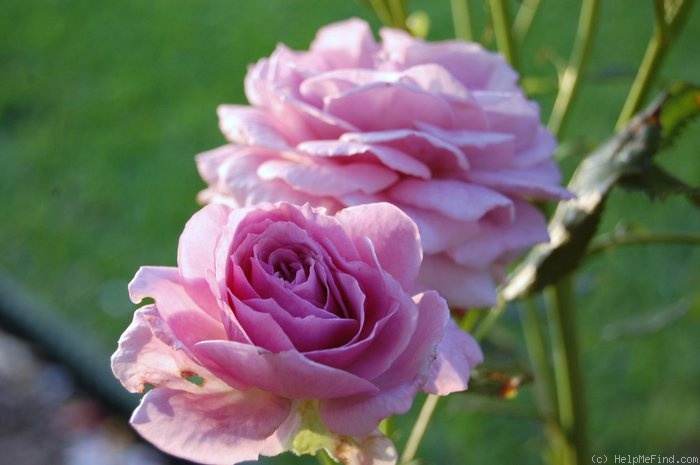 'Enchanted Evening ™' rose photo