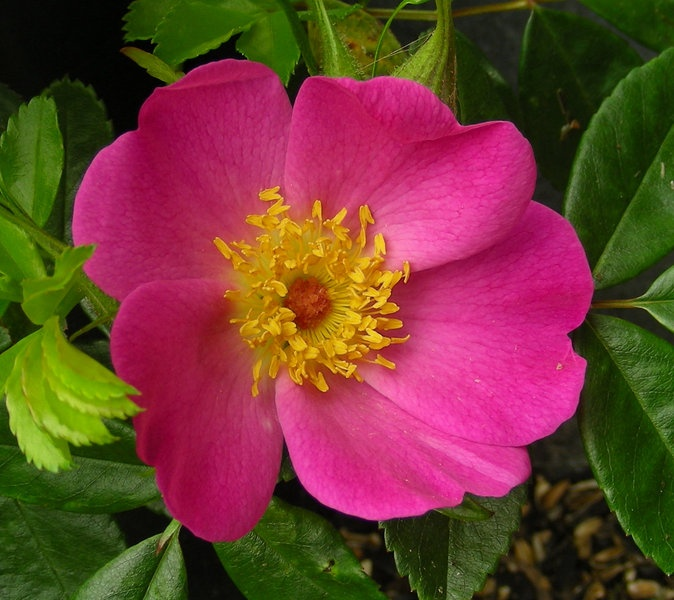 'Commander Gillette' rose photo