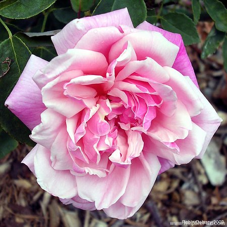 'Monsieur Tillier' rose photo