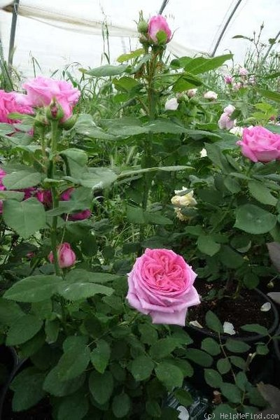 'Madame Joseph Bonnaire' rose photo
