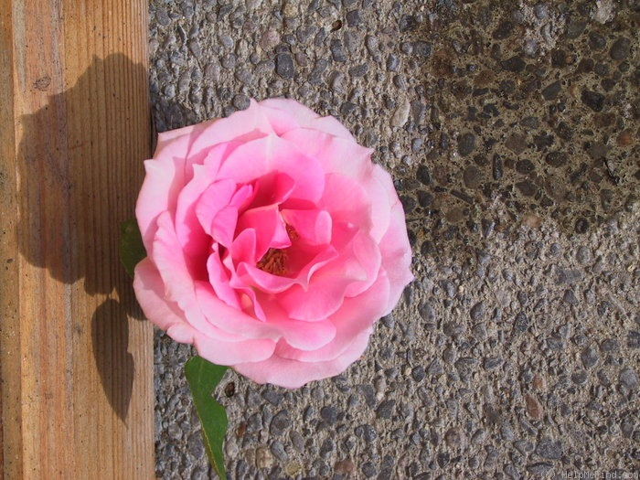 'Haircutters Pink Climber' rose photo
