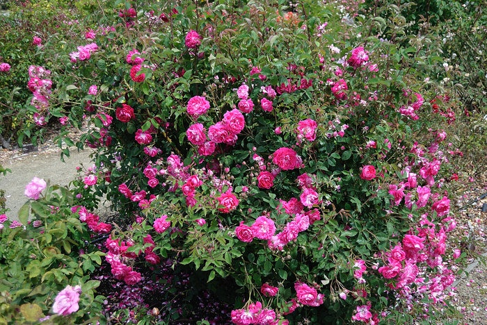 '<i>Rosa</i> x Bourboniana' rose photo