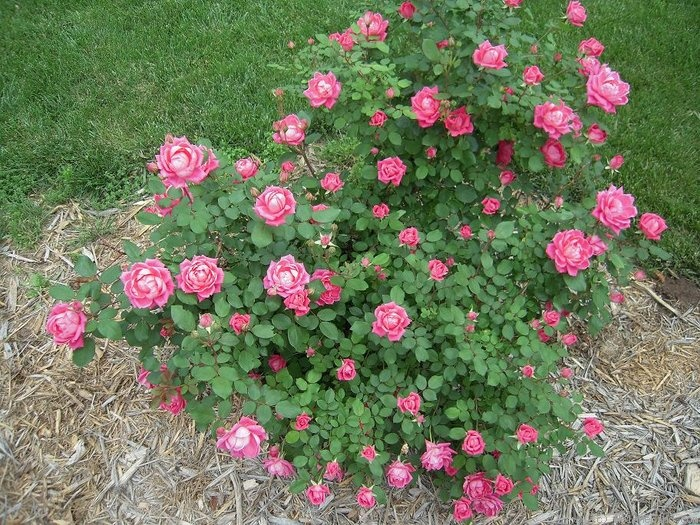 'Pink Double Knock Out ®' rose photo