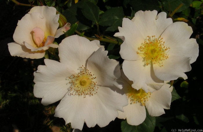 'Sharon's Delight™' rose photo