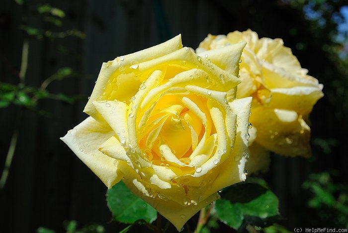 'Eternal Flame (hybrid tea, Meilland 2007)' rose photo
