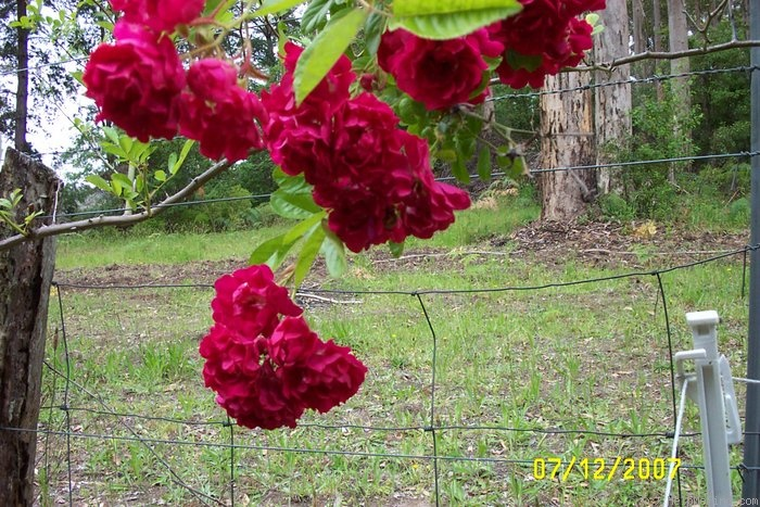 'Crimson Rambler' rose photo