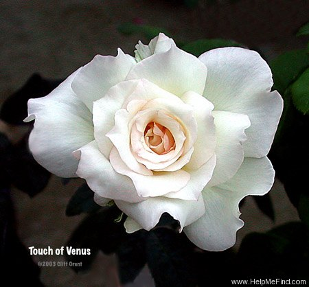 'Touch of Venus' rose photo