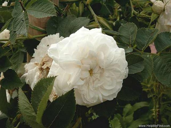 'Maxima (alba, Unknown before 1500)' rose photo