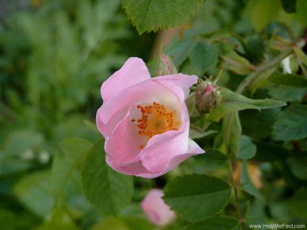 '<i>Rosa canina</i> L.' rose photo