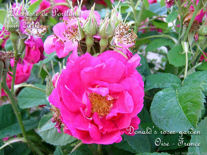 'Duchesse de Portland' rose photo
