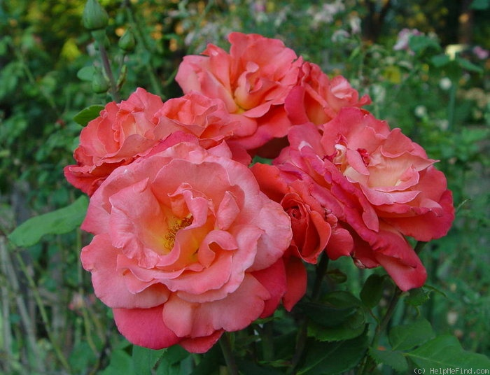 'Christopher Columbus (hybrid tea, Meilland, 1992)' rose photo