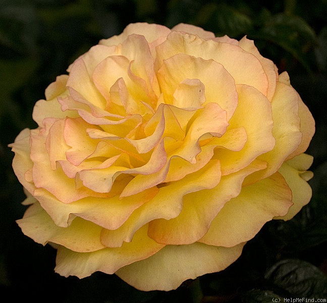 'Solitaire (hybrid tea, McGredy, 1978)' rose photo