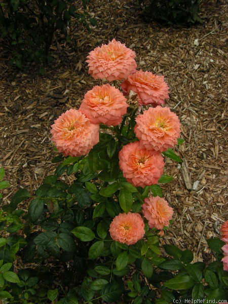 'Queen of Hearts ® (floribunda, Kordes, 2000/08)' rose photo