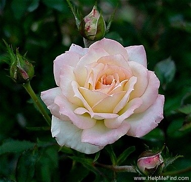'Absolutely ™' rose photo