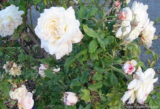 'Céline Forestier (Tea Noisette, Trouillard, 1842)' rose photo