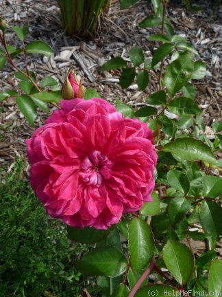 'Ivor's Rose' rose photo