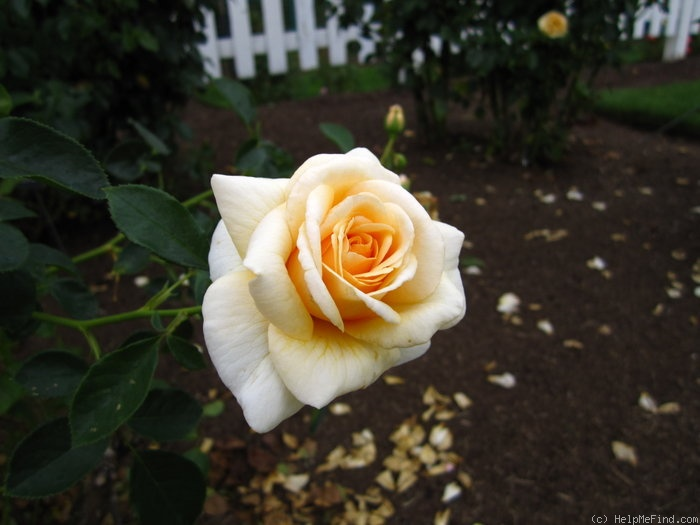 'Pure Gold ™' rose photo