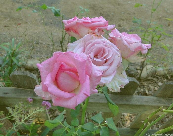 гриб роза паваротти фото парки полюбились