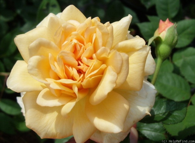 'Buff Beauty (Hybrid Musk, Bentall, 1939)' rose photo
