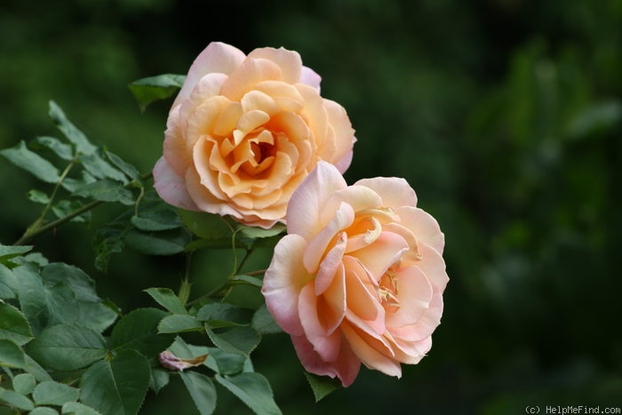 'Della Balfour (Large Flowered Climber, Harkness, 1994)' rose photo