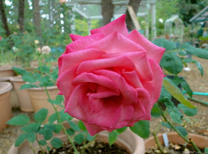 'Love's Kiss' rose photo