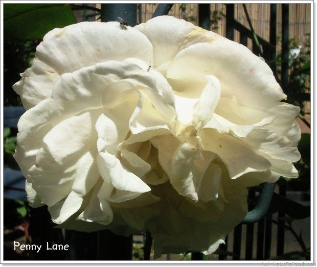'Penny Lane (climber, Harkness, 1998)' rose photo