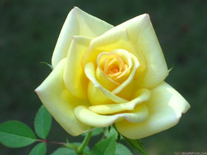 'Butter Cream ™' rose photo