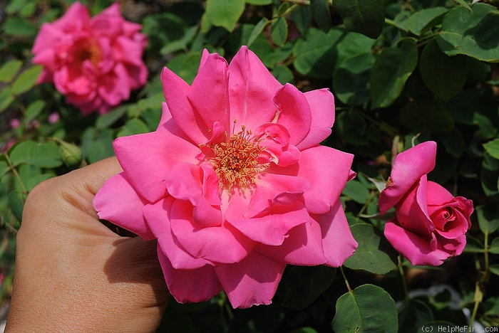 'Zara Hore-Ruthven' rose photo