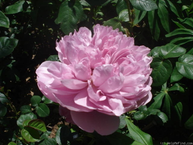 'Charles Rennie Mackintosh' rose photo