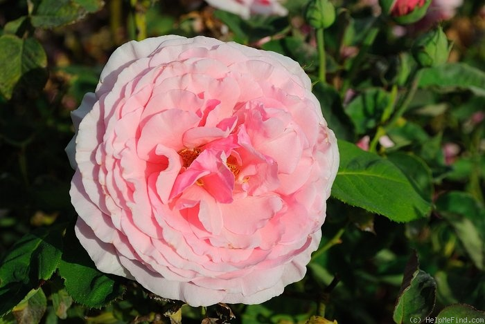 'Lady Alice Stanley' rose photo