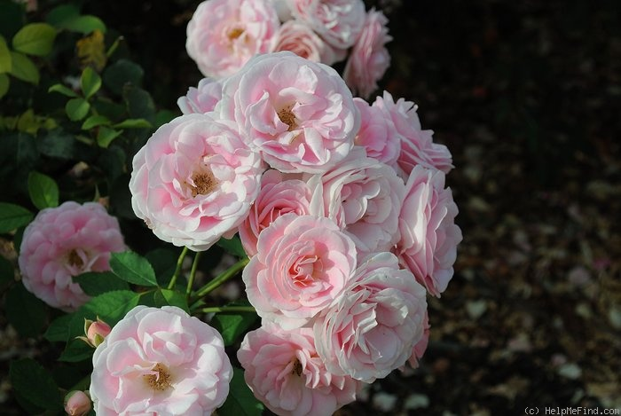 'Pride of Oakland' rose photo