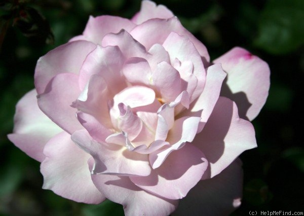 'Cool as Ice' rose photo