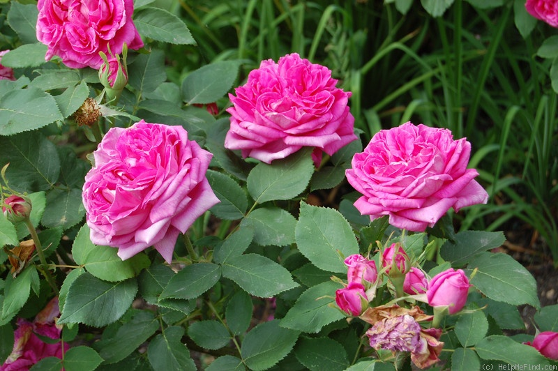 'Magna Charta' rose photo