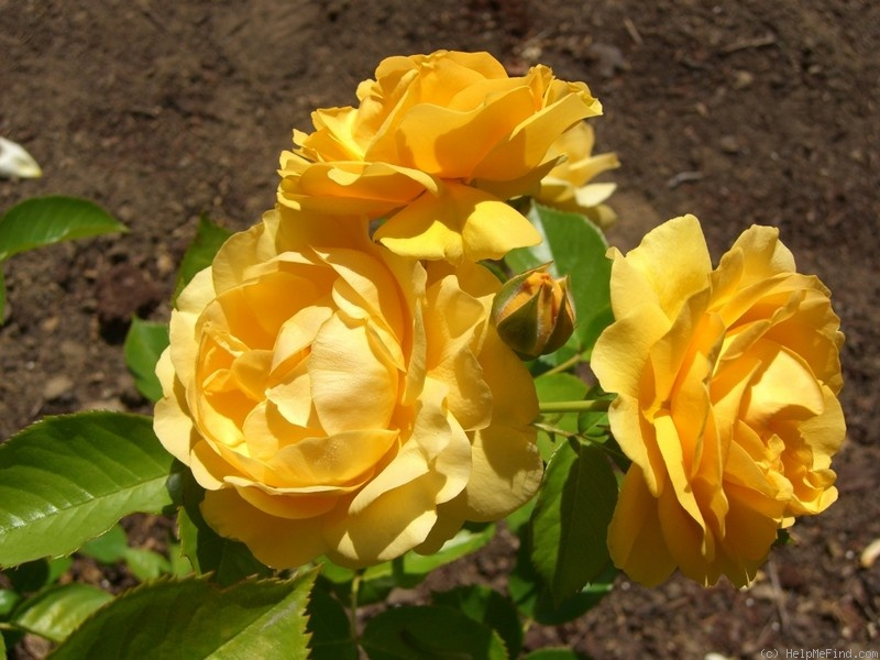 'Julia Child ™ (Floribunda, Carruth, 2004)' rose photo