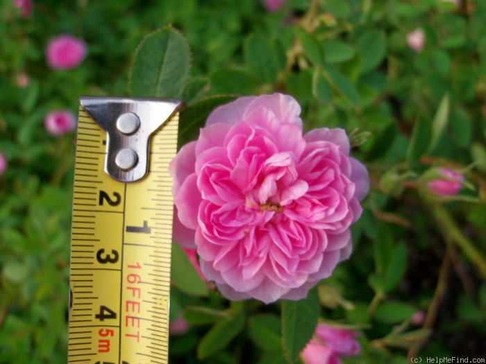 'Rose de Meaux' rose photo