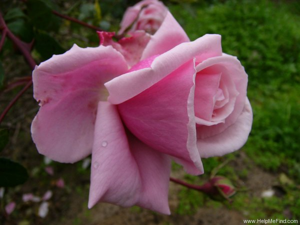 'Blossom Time' rose photo